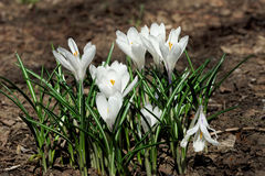 Weiße Blumen des Krokusses Anfang Mai Lizenzfreie Stockfotos