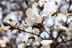 Weiße Blumen des Magnolienbaums im Vorfrühling Stockbilder