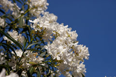 Weiße Blumen des Oleanders Stockbilder