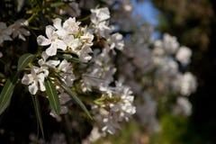 Weiße Blumen des Oleanders Lizenzfreie Stockbilder