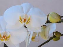 Weiße Blumen des Orchidee Phalaenopsis mit den Knospen, Nahaufnahme Lizenzfreie Stockfotos