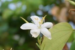 Weiße Blumen des Sommers im Maharashtra Indien stockfotos