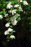 Weiße Blumen des Spiraea-(Meadowsweet) Lizenzfreies Stockfoto