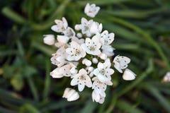 Weiße Blumen des wilden Knoblauchs von oben lizenzfreies stockfoto