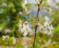Weiße Blumen, die auf einem Baum blühen Stockbilder