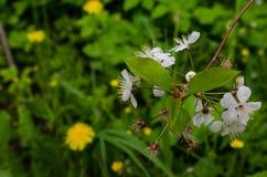 Weiße Blumen, die auf einem Baum blühen Lizenzfreie Stockbilder