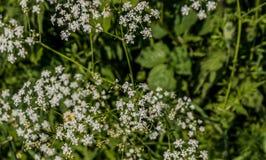 Weiße Blumen in einer Hecke stockfotos
