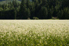 Weiße Blumen in einer Wiese Lizenzfreie Stockfotos