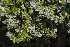 Weiße Blumen eines Baums im Frühjahr stockbild