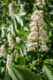 Weiße Blumen eines Pferdekastanienbaum Aesculus hippocastanum Stockbilder