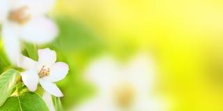 Weiße Blumen eines Zierquitte Cydonia oblonga auf einem Grün Stockfotografie