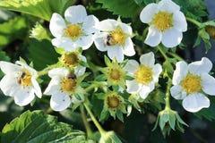 Weiße Blumen Erdbeere und Insekten stockfotos