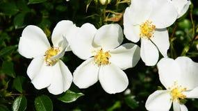 Weiße Blumen für Hintergründe Lizenzfreies Stockfoto