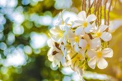 Weiße Blumen gerade auf Sonnenaufgang Stockbild