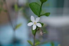 Weiße Blumen-Grün-Blätter mit Niederlassung Stockbild