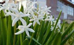 Weiße Blumen grünen mein Haus Stockbilder