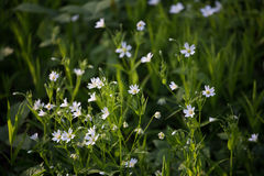 Weiße Blumen, grünes Gras Stockfotos