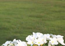 Weiße Blumen-Hintergrund lizenzfreie stockfotografie
