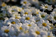 Weiße Blumen im Garten Lizenzfreie Stockfotografie