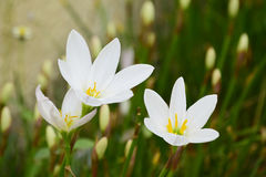Weiße Blumen im Garten Stockbild