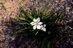 Weiße Blumen im Gras Lizenzfreies Stockbild