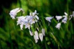 Weiße Blumen im Wald Stockfotos