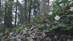 Weiße Blumen im Wald stock footage