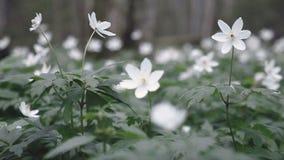 Weiße Blumen im Wald stock video