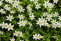 Weiße Blumen im Wald auf der Sonne Stockfotos