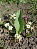 weiße Blumen im Yard lizenzfreie stockbilder