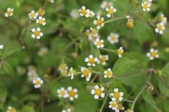 Weiße Blumen klein vom Gras lizenzfreie stockfotografie