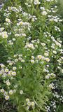 Weiße Blumen Llttle auf grünem Gras Stockfotos