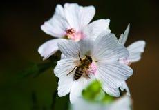 Weiße Blumen mit Biene Stockbild
