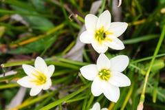 Weiße Blumen mit Biene auf undeutlichem Hintergrund lizenzfreie stockfotos