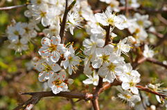 Weiße Blumen mit den Dornen Lizenzfreies Stockfoto