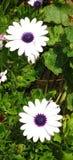 Weiße Blumen mit den purpurroten Knospen - gebürtiger Frühling blüht bei Cabo DA Roca, Sintra in Portugal Lizenzfreies Stockfoto