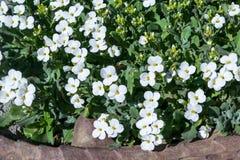 Weiße Blumen mit einem gelben Kern und Grünblätter im Blumenbeet In der Front wird einem geschnitzten Steinbraun gesehen Lizenzfreies Stockfoto
