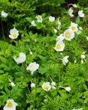Weiße Blumen mit gelbem Knopf Stockbild