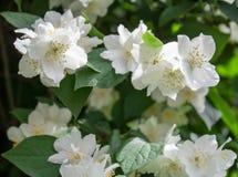 Weiße Blumen mit grünen Blättern Hintergrund Lizenzfreie Stockbilder