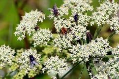 Weiße Blumen mit Insekten Stockfoto