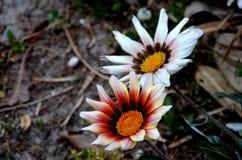 Weiße Blumen mit orange Stempel Stockbild