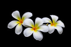 Weiße Blumen nach dem Regen Stockfoto