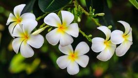 Weiße Blumen nach dem Regen Stockfotografie