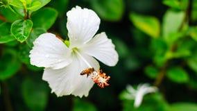 Weiße Blumen nach dem Regen Lizenzfreie Stockfotos