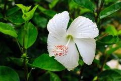 Weiße Blumen nach dem Regen Stockfotos