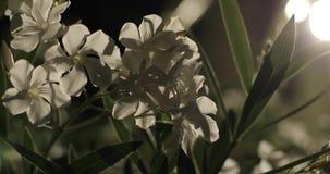 Weiße Blumen nachts nave stock video footage