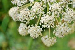 Weiße Blumen-Nahaufnahme stockfotos