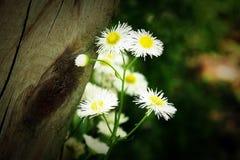 Weiße Blumen neben hölzernem Beitrag Lizenzfreie Stockfotografie