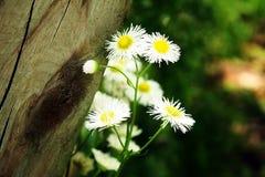 Weiße Blumen neben hölzerner Beitragsnahaufnahme Lizenzfreie Stockfotografie