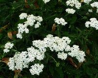 Weiße Blumen oder Achillea Millefolium der Schafgarbe Stockfotografie